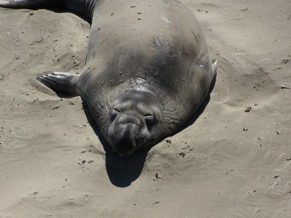 elephant-seal-2